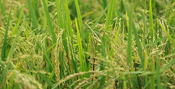 paddy yield