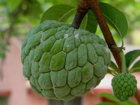 Custard Apple good