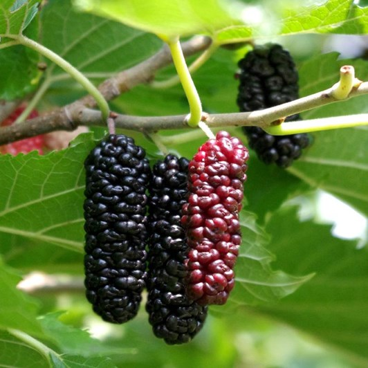 mulberry fruit bunch