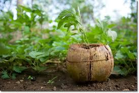 coconut shell saplings