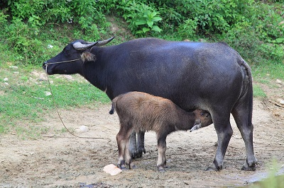 buffallo and calf