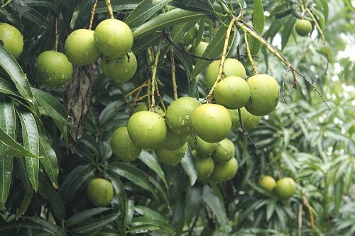 local mango variety