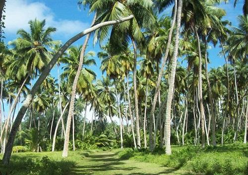 coconut board