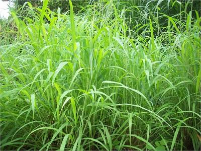 CO3 grass